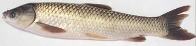 由於鯉科魚類(包括鯇魚(又稱草魚)、鯉魚、鯪魚、青魚、鯽魚、鰱魚(又稱白鰱)及大頭(又稱花鰱或鱅魚)等)的魚膽含有毒物質,市民切勿進食其魚膽。