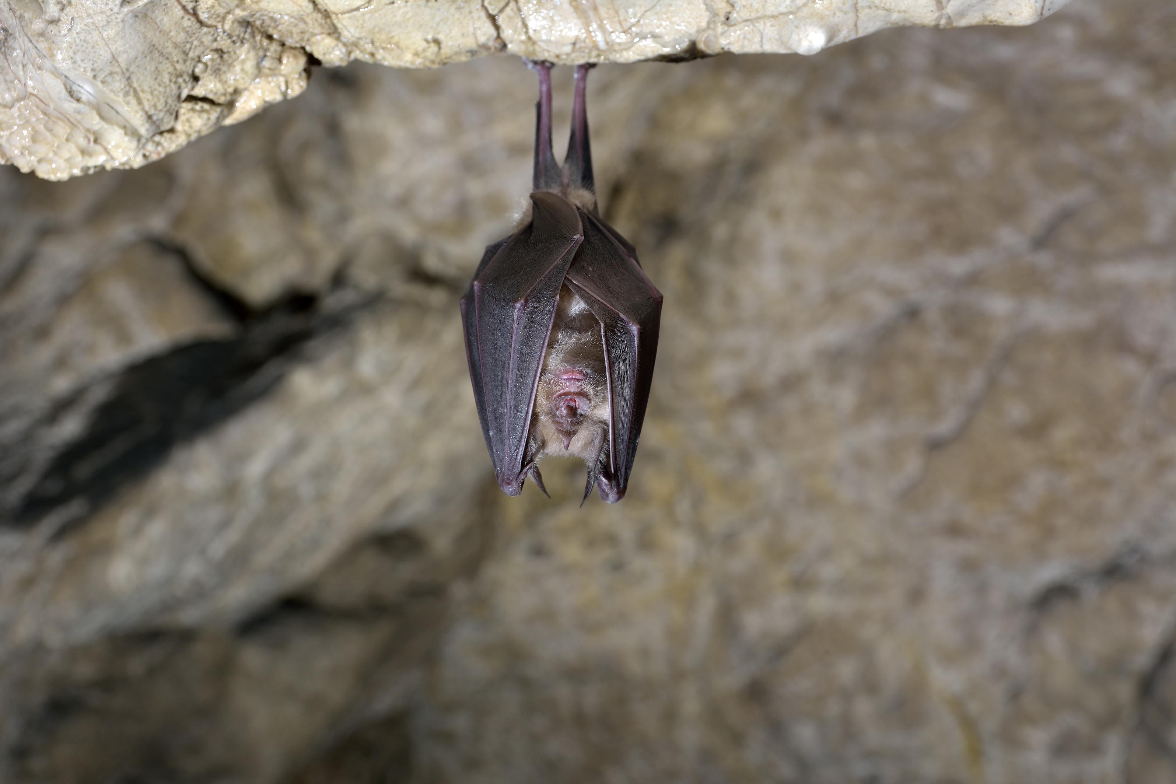有柬埔寨研究發現,10年前於柬埔寨北部從蝙蝠身上採集的樣本,與目前全球擴散的新冠病毒非常相似。